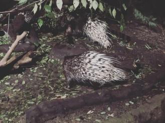 Ngiht Safari 2 - Porcupine