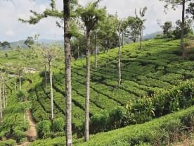 4 Pedro Tea Field 1