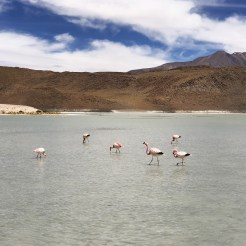 1 The Chilean, Andean, and James's Flamingo 4