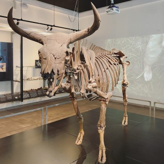 The Aurochs - The Feast that Drowned. 10,000 years ago Denmark's ancestors hunted a 1,000-kilogram aurochs, which was 2 meters high at the withers. A group of hunters pulled back their bows and fired their arrows. Three of them stuck and wounded the massive beast. The aurochs leaped into a bog in Vig on the peninsula of Odsherred, where it disappeared before the eyes of the hunters. The aurochs' skeleton was discovered in 1905.