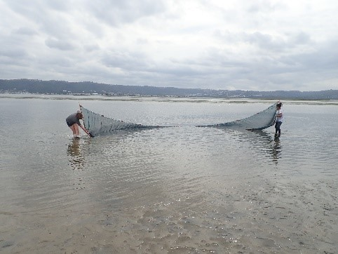 Seine netting for Juvenile fish