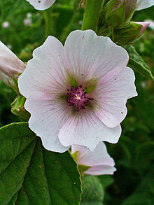 Althaea_officinalis_002