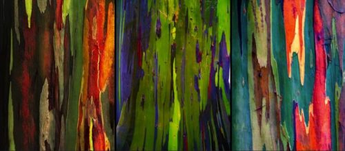 arbre_arc_en_ciel_eucalyptus_deglupta_22-810x357
