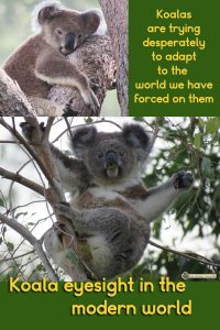 Koalas are trying to adapt to the modern world but their eyesight is made for the tree tops. Maxine and Enigma are pictured here showing koala eyes.