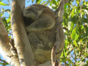 Koala sleeping deeply in fork of a tree within sight and earshot of a busy road.