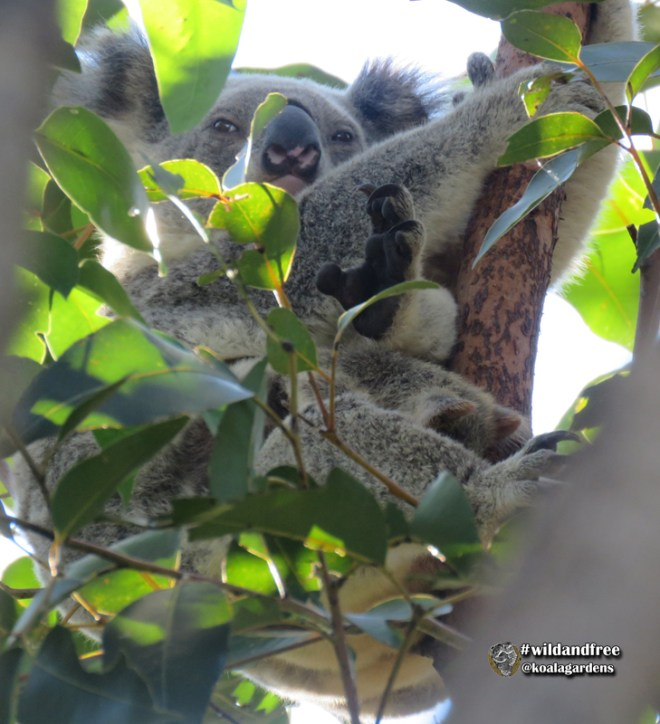 Wild koala mother and joey in this photo. Joey has head out of the pouch and is eating pap for the first time.