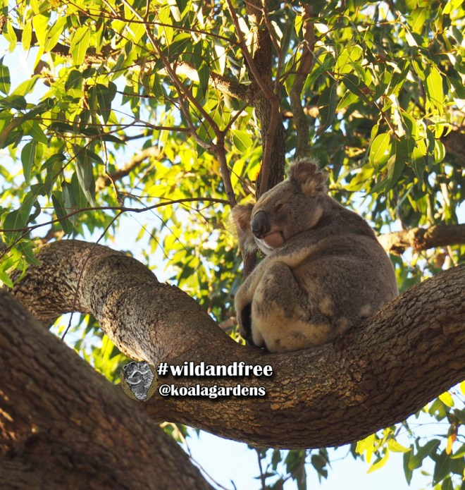 Male koala in bloodwood tree