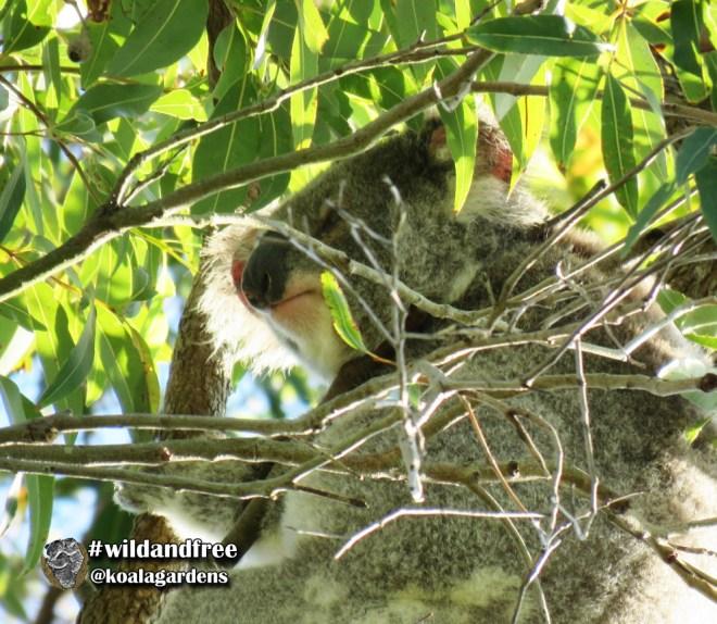 male koala wild at Koala Gardens