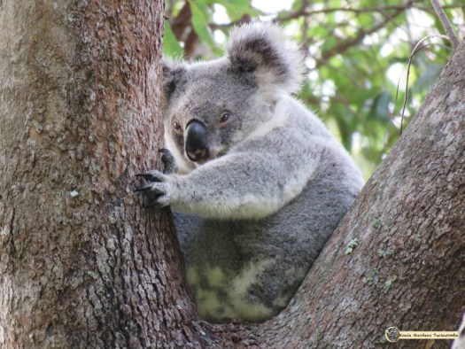 Mist is a female koala and is pictured here in one of her favourite bloodwood trees which she uses during hot weather.