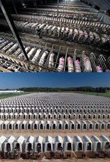 svinje u kavezima nsw