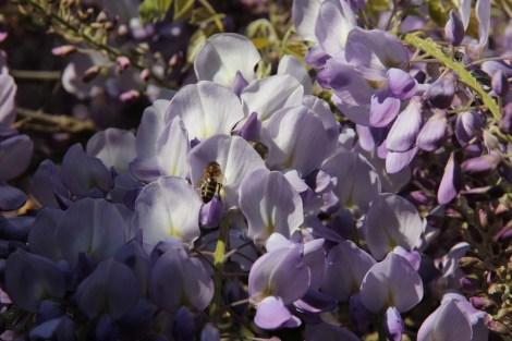 glycine abeille
