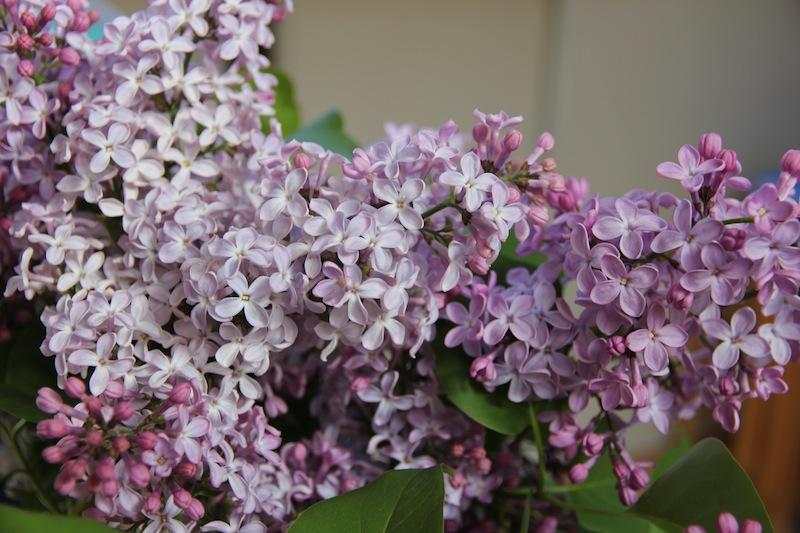 Le parfum fugace du lilas