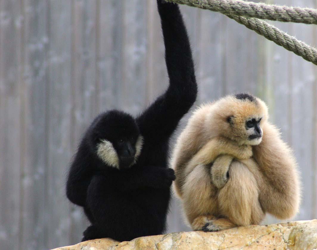 zoo tregomeur gibbons
