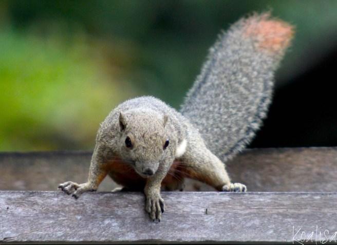 ecureuil-6