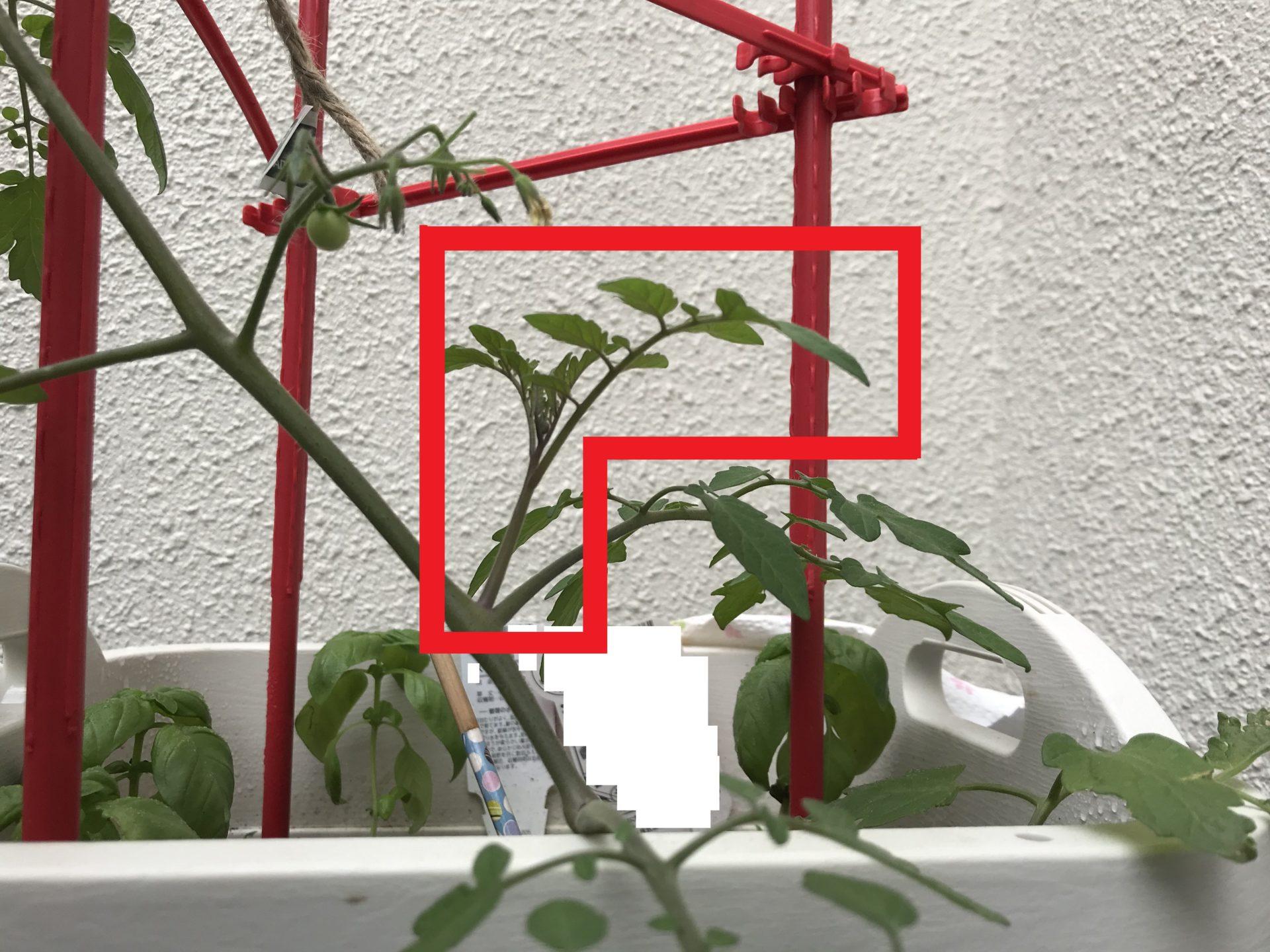 トマト かき ミニ 芽 トマト 芽かき