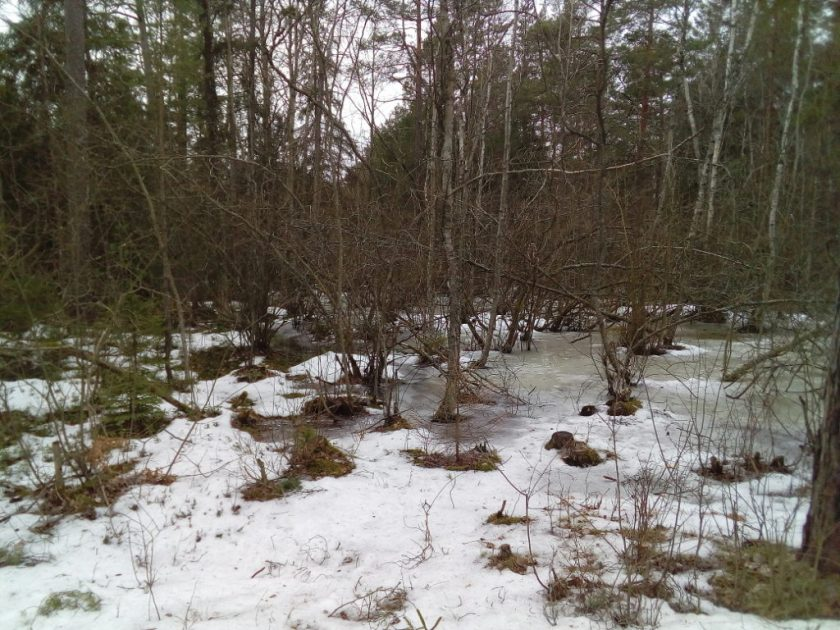 Bushes in thawing, melting snow.
