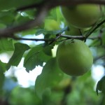 The giant plum