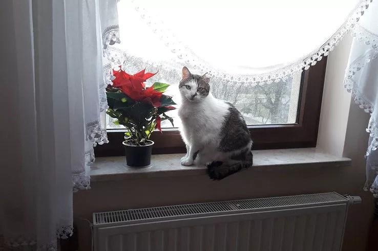 Kot przy gwieździe betlejemskiej