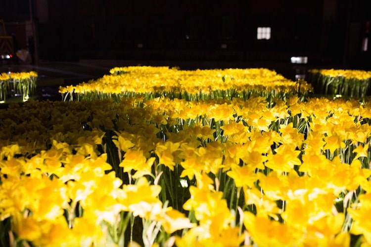 marie-curie-greyworld-garden-of-light-daffodil-installation-2.jpg