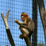 【東山動物園】さよならキンシコウ まもなく中国へ帰国 2009.9.5