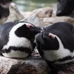 【今日のペンギン写真】ケープペンギン(掛川花鳥園) 2016.4.10(Mon)