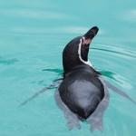 【今日のペンギン写真】フンボルトペンギン(東山動物園) 2016.3.6(Sun)