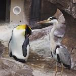 【今日のペンギン写真】キングペンギン(東山動物園) 2016.5.28(Sun)