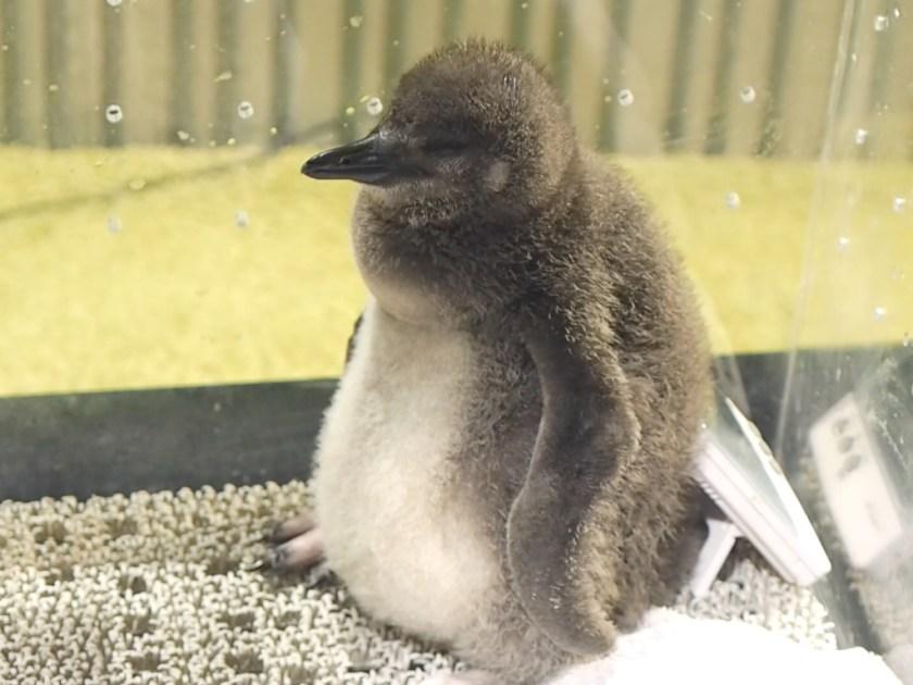 Sumida Magellanic Penguin Chick