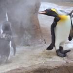 【ペンギン日記】【動画あり】フンボを威嚇!オウサマペンギン (東山動物園) 2016.8.13(Sat)