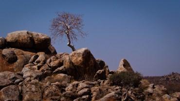 Unter Naturschutz stehender Baum - wächst - fast auschließlich zwischen Felsanhäufungen