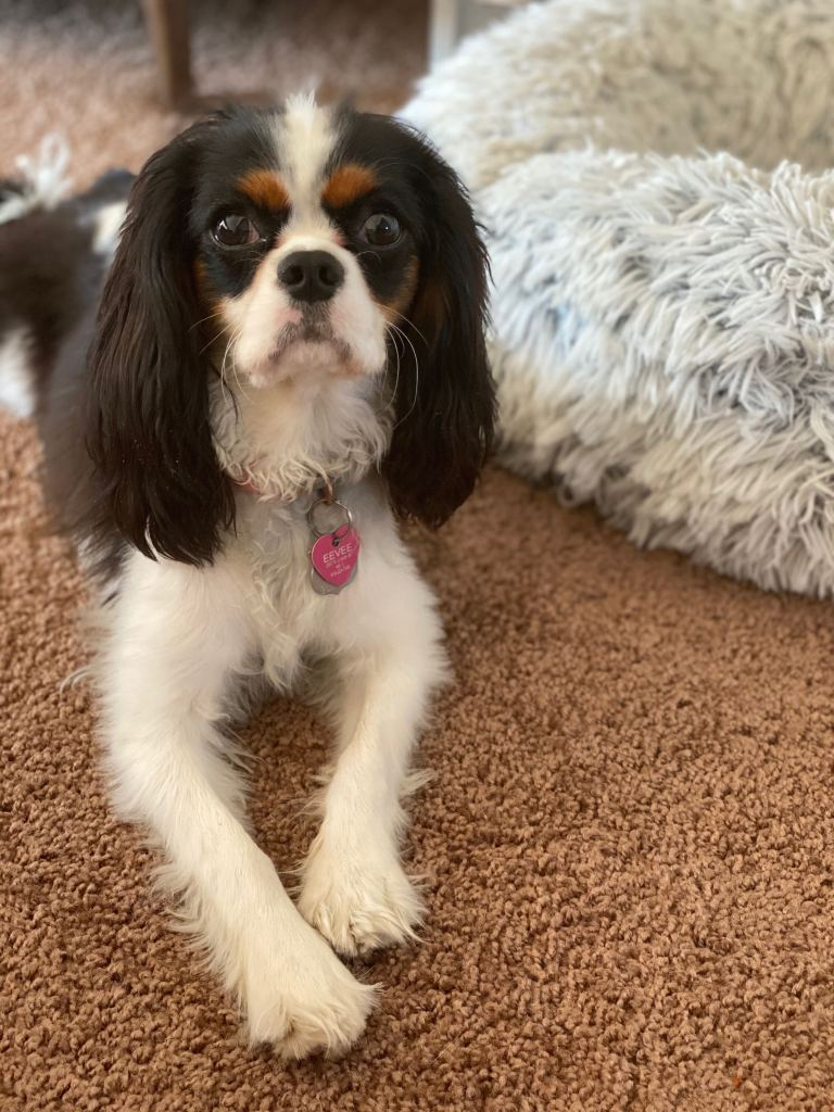 A photo of Sam's King Charles' Spaniel, Eevee, looking like the perfect angel puppy she is.