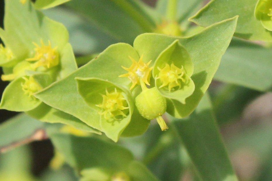 Euphorbia taurinensis