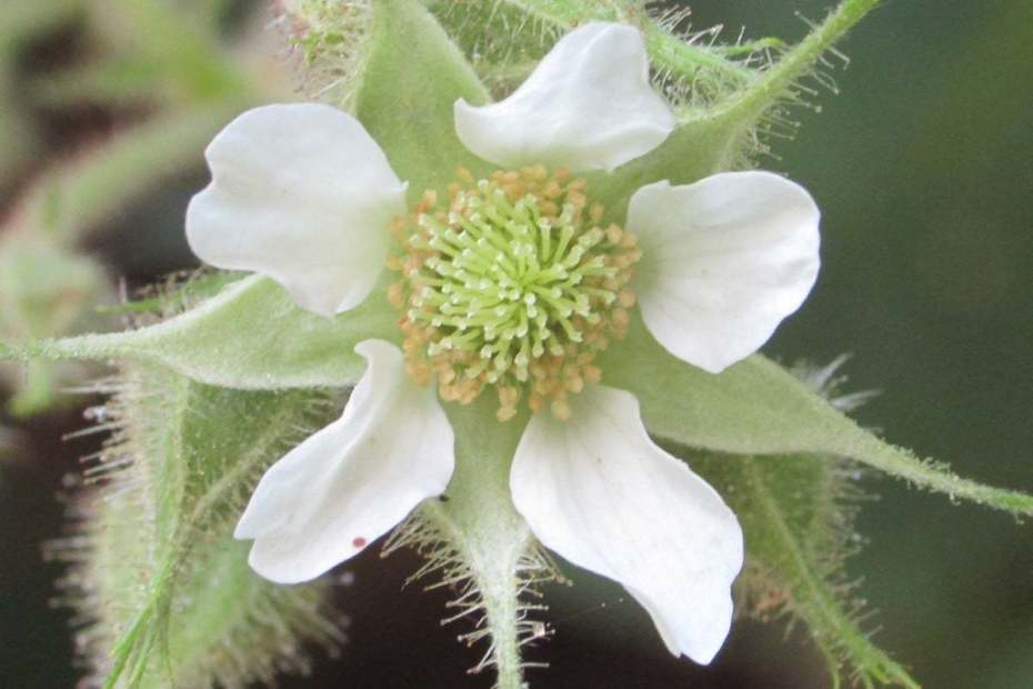 Rubus hirtus
