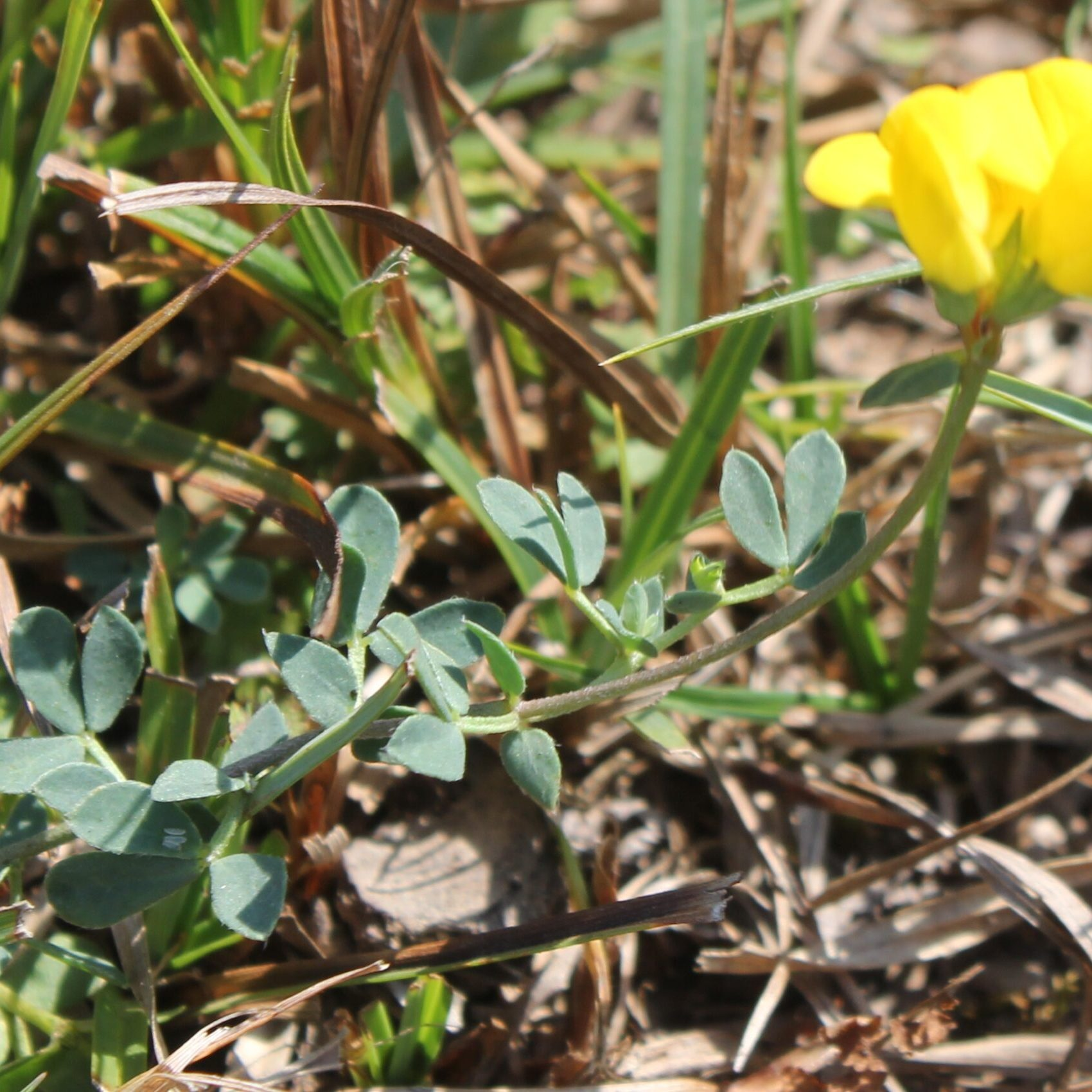 Lotus tenuis