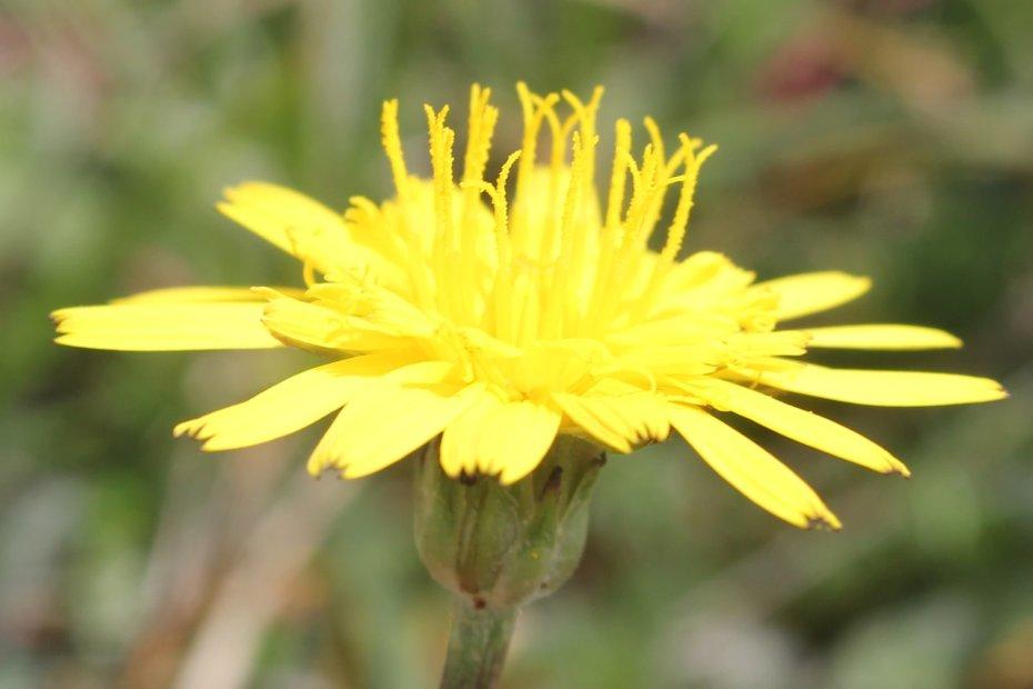 Podospermum canum