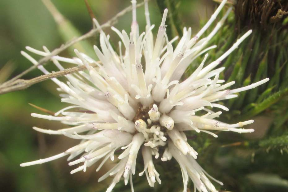 Cirsium polycephalum