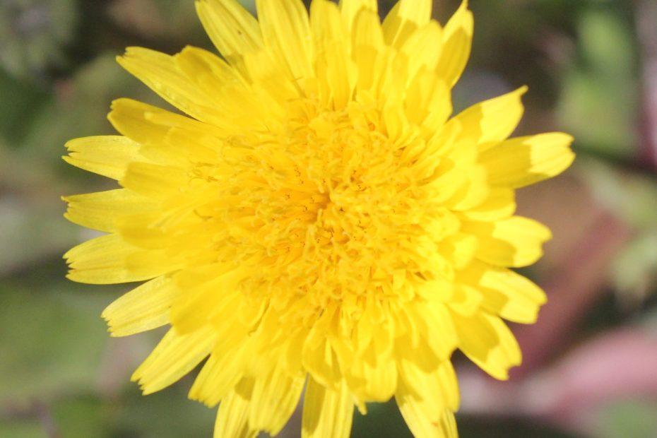 Sonchus asper subsp. glaucescens