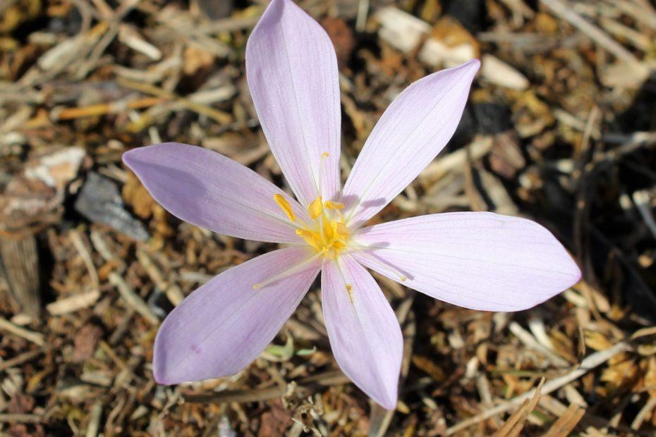Colchicum micranthum