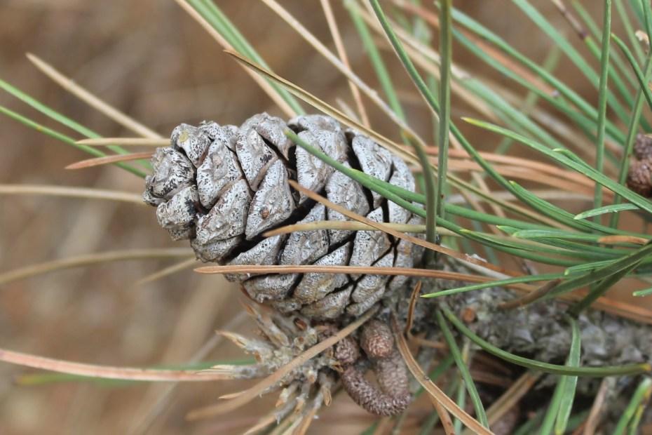 Pinus nigra subsp. pallasiana