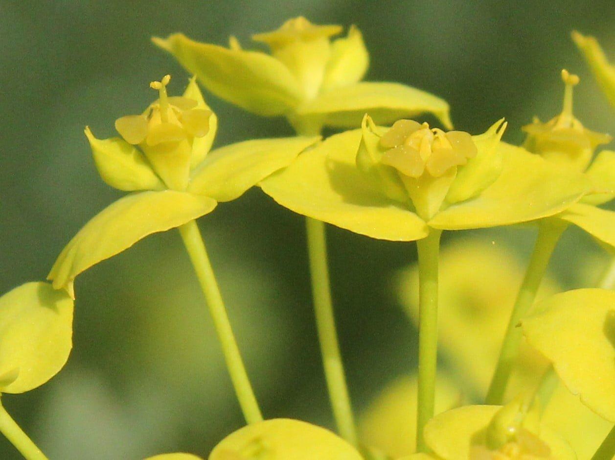 Euphorbia seguieriana subsp. niciciana