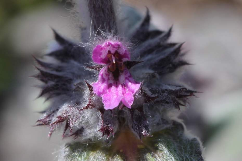 Stachys germanica subsp. bithynica