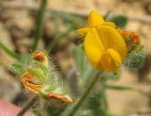Hymenocarpos circinnatus