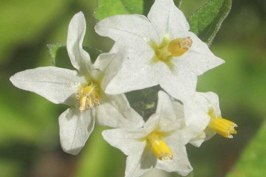 Solanum luteum