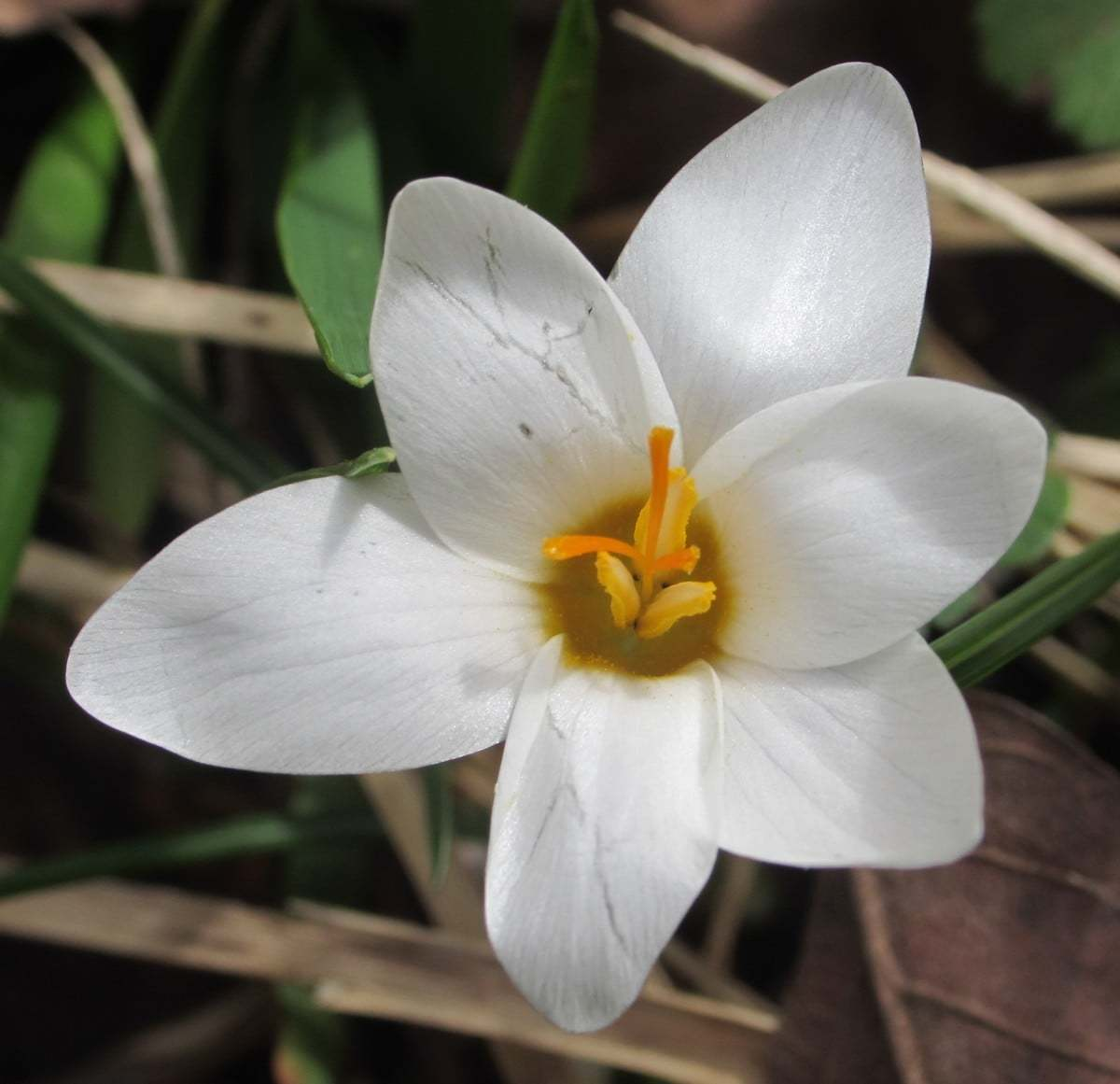 Crocus bifloriformis