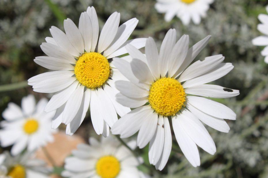 Anthemis cretica subsp. cassia