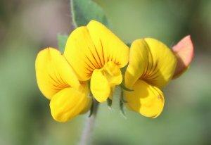 Lotus palustris