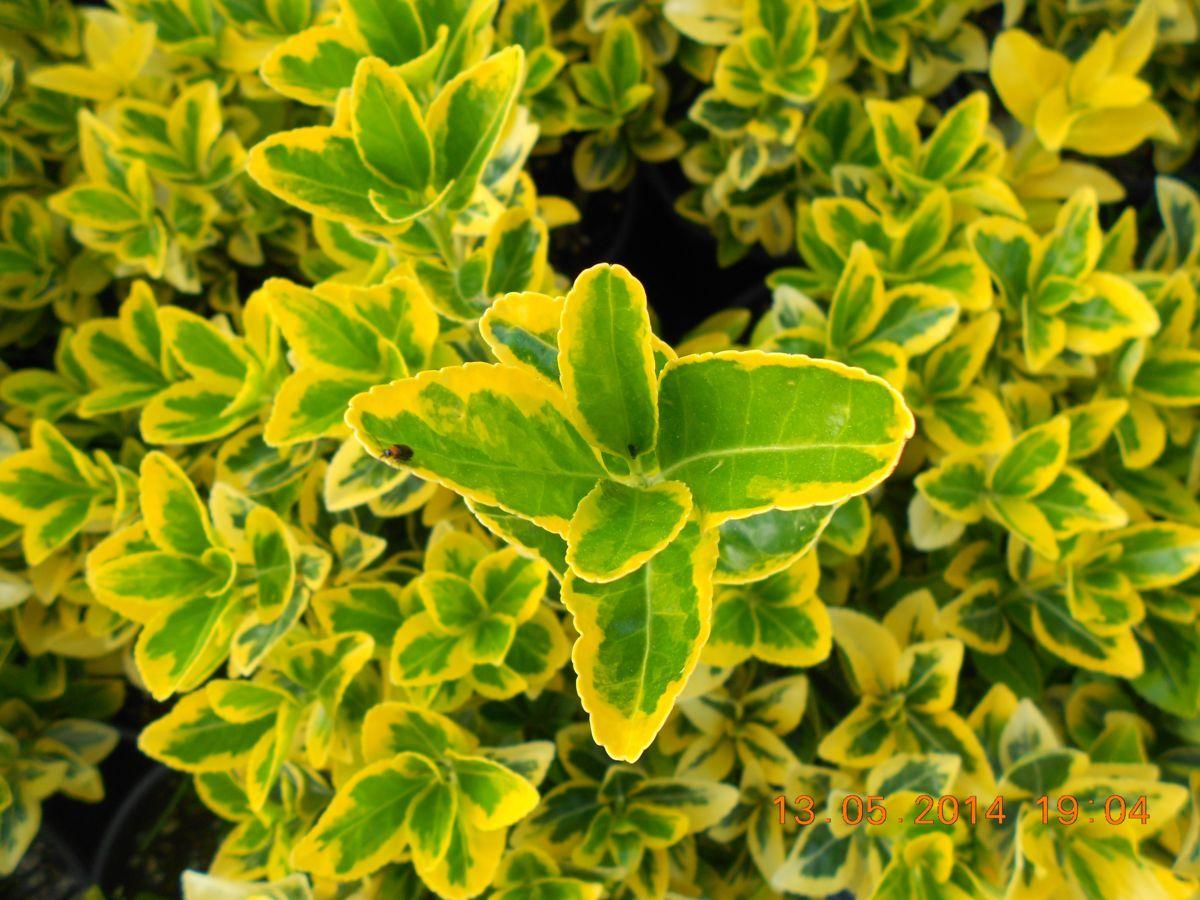 Euonymus japonica Elegantissimus Eureus
