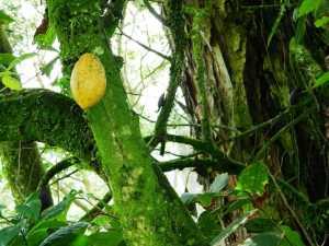 Kakaopflanze in Kolumbien