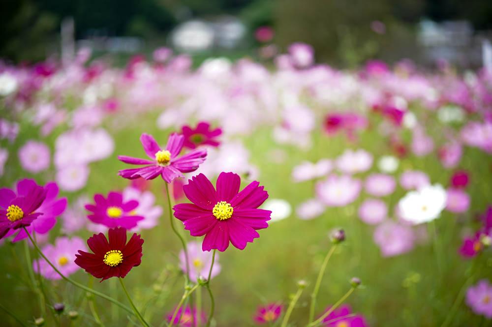 【今が見頃!】150万本のコスモスが咲き乱れる越知町のコスモス祭り