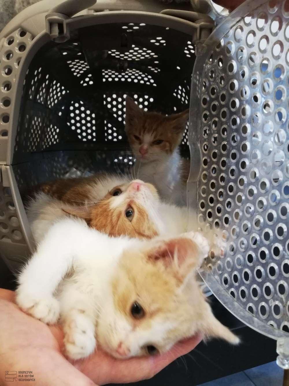 Trzy małe rudo-białe kotki wychodzą z transportera.